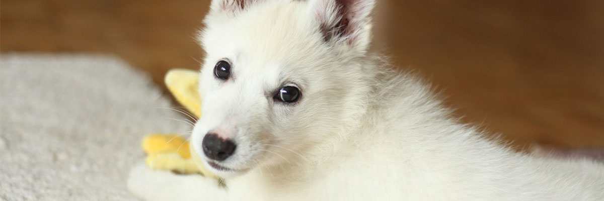 How To Remove Pet Odour From Carpet?